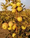 Elma Felç Riskini Azaltıyor
