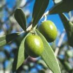Kolestrol ve dolaşım sistemini düzenleyen zeytin yaprağı çayı