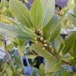 Defne yaprağı çayı ve defne yağı faydaları(ağrı giderici,romatizmal ağrılar,Vb.)
