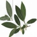 Zeytin Yapragı ile Kolestrol çözümü(bir çok hastalığa faydaları)